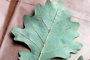 Bur oak blight beginning in views