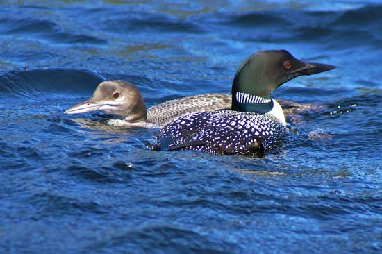 A young loon and an adult Loon in Gaskin Lake.