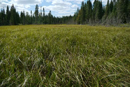 A wet meadow in the BWCAW