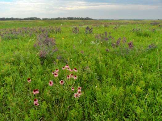 Purple coneflower and leadplant in bloom in the prairie.