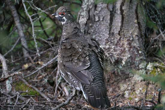 A spruce grouse.