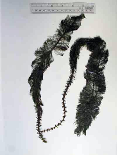 Myriophyllum heterophyllum