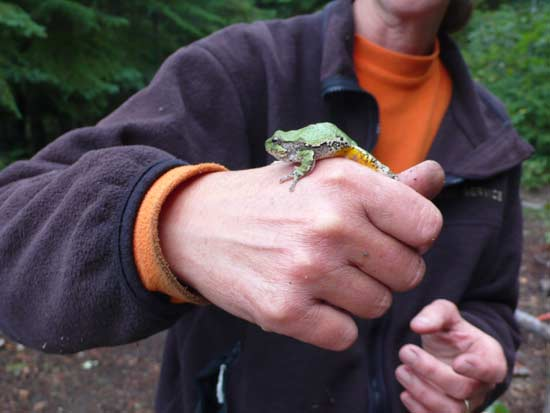 Green tree frog on a hand.