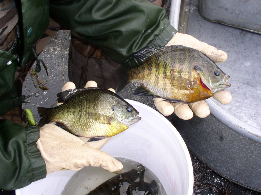 Comparison of the male and female bluegills