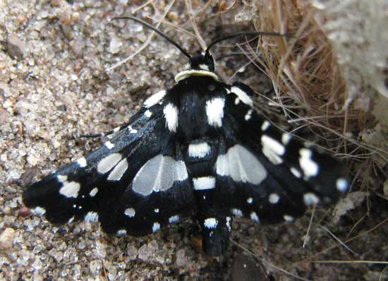 mourning thyris moth