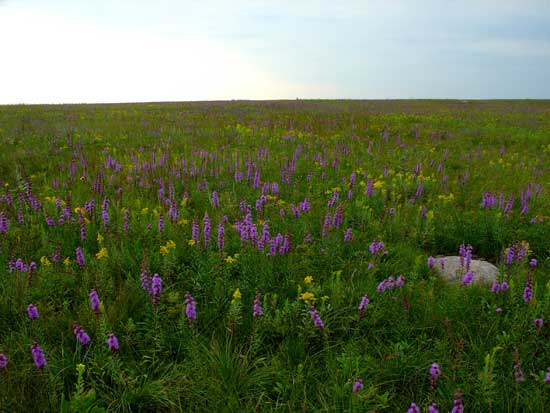 Blazing star in the Chippewa Prairie with a boulder in the right foreground