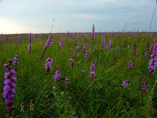Close-up of the blazing star plants in the Chippewa Prairie