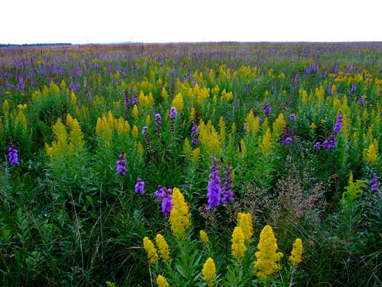 A patch of showy goldenrod mixed with rough blazing star.