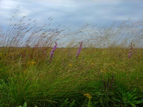 Wind-blown grasses at Chippewa Prairie.