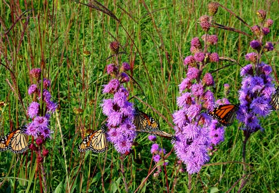 Monarchs feeding on blazing stars.