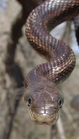 Head of a ratsnake.