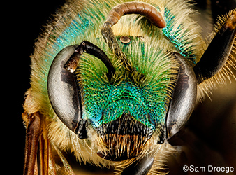 image of Agapostemon virescens