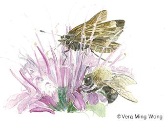 illustration of butterfly on native flower