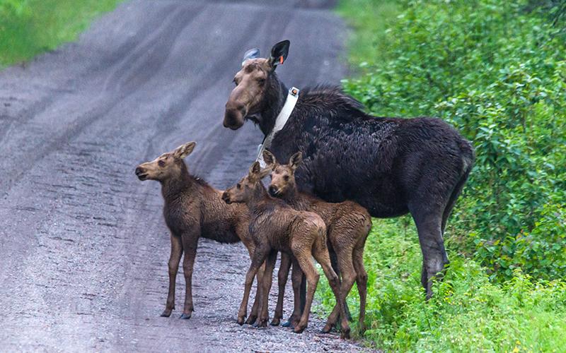 Spotlight 75 Moose In Minnesota Minnesota Dnr