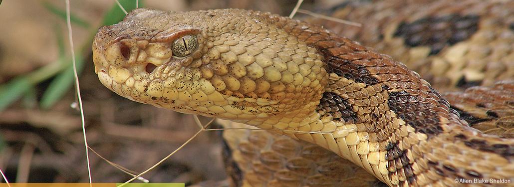 Minnesota Profile: Timber Rattlesnake - Minnesota DNR