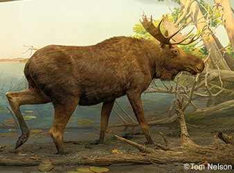 photo of taxidermied bull moose in a diorama depicting Gulflint Lake near Ely