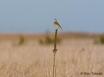 photo of western meadowlark