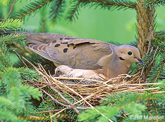 Image of a mourning dove on a nest.