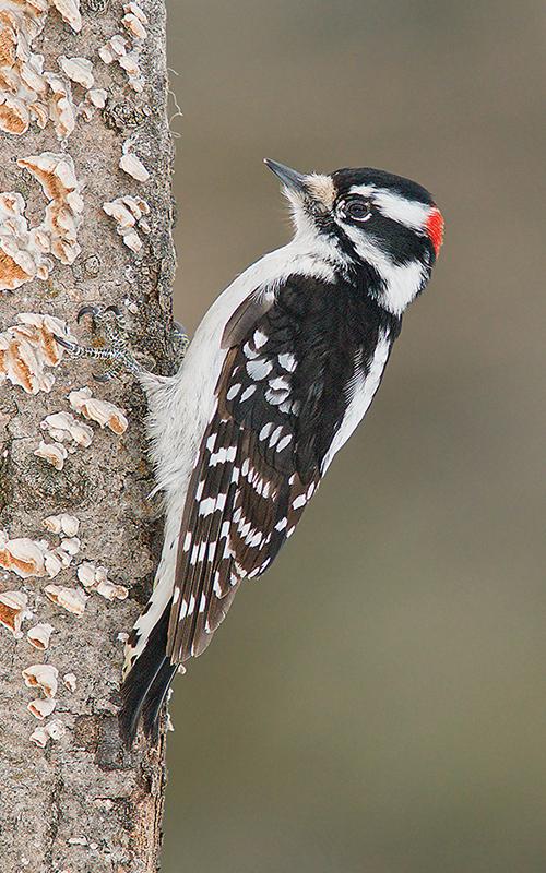 Winter S Woodpeckers Mar Apr 2018 Minnesota Conservation Volunteer Minnesota Dnr,Saltwater Fish Tank Ideas